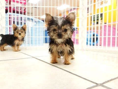 yorkie puppies for sale wilmington nc yorkshire terrier yorkie puppies dogs for sale in 4336