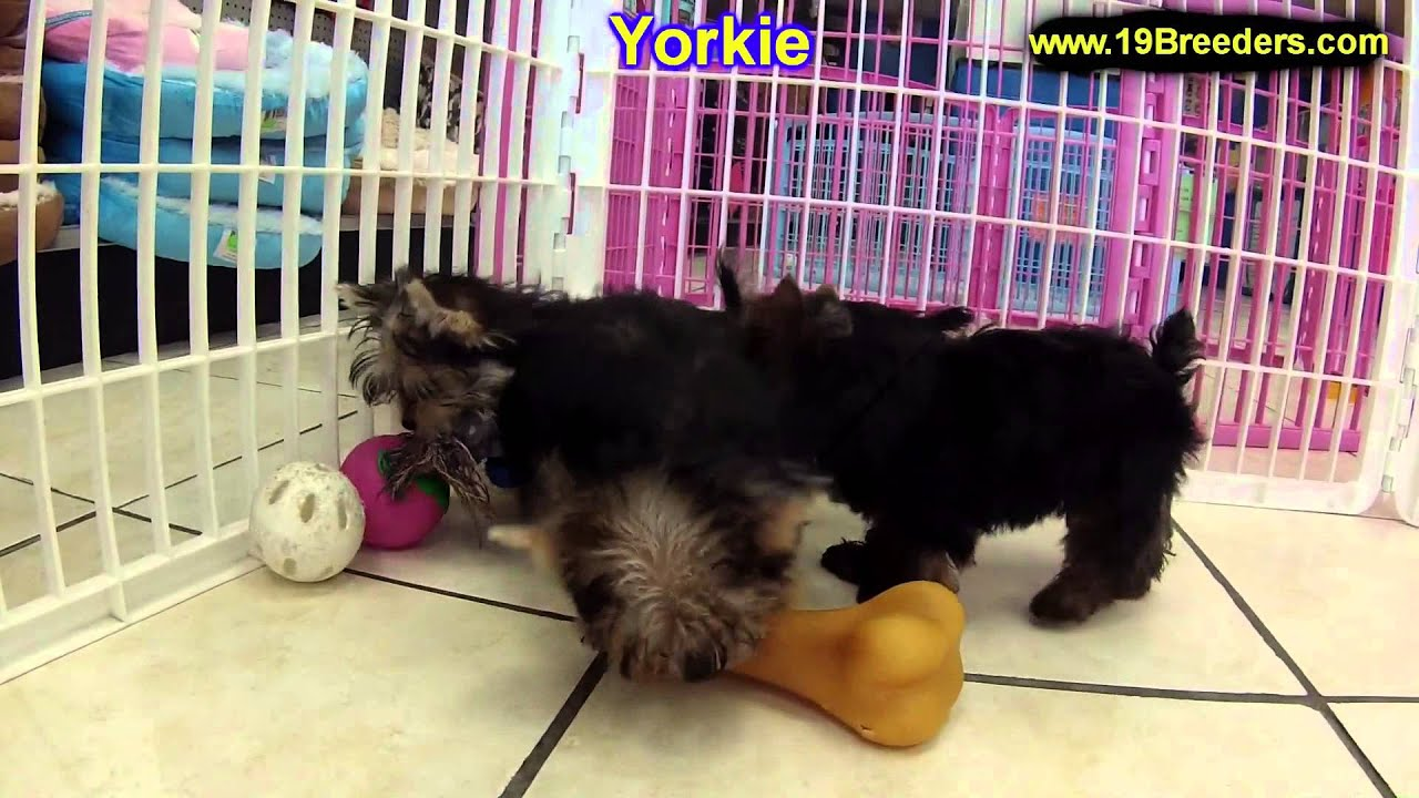 yorkie puppies for sale wilmington nc yorkshire terrier yorkie puppies dogs for sale in 4014