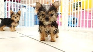 Yorkshire Terrier, Puppies, For, Sale, In, Bridgeport, Connecticut, Ct, Newington, Manchester, Nauga
