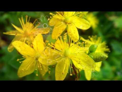 полезные противопоказания медуницы свойства