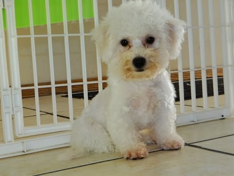 Bichon Frise, Puppies, Dogs, For Sale, In Little Rock ...