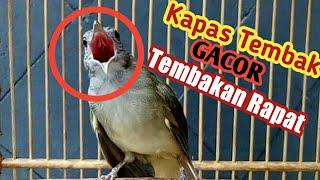 Gambar cover Suaranya kayak AK47 !! Kapas Tembak Gacor Tembakan Rapat Cocok Buat Masteran