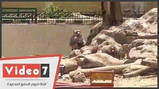 زحام أمام منزل الشمبانزى كوكو ولوزة والقرد نادر فى حديقة حيوان الجيزة 3