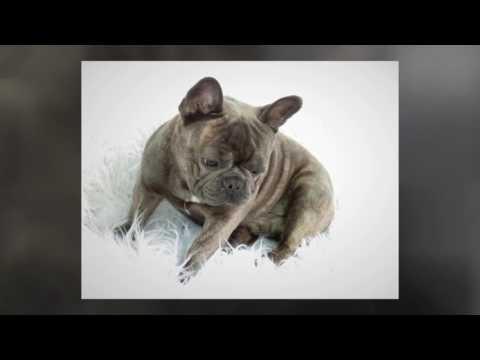 LOGAN our Blue French Bulldog Father Dog
