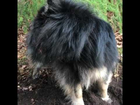 Do Lapphunds like to dig?