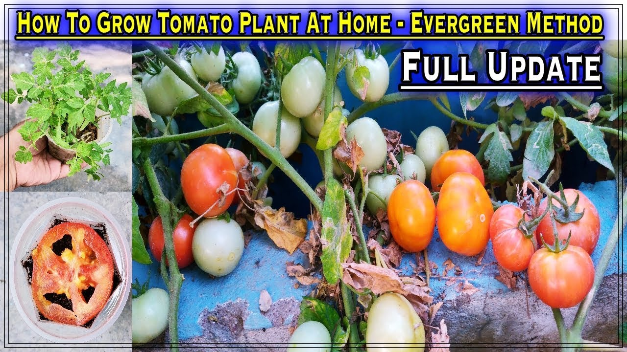 How To Grow Tomatoes From Tomatoes In A Container Easiest Method