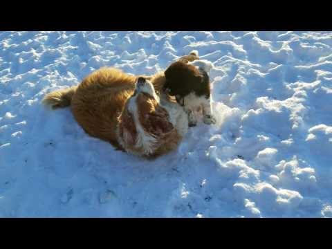 Newfoundland puppy Pi, Attacks Great Pyrenees/Bernese Mountain Dog William Tell