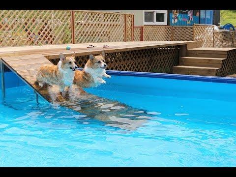 welsh corgi swimming