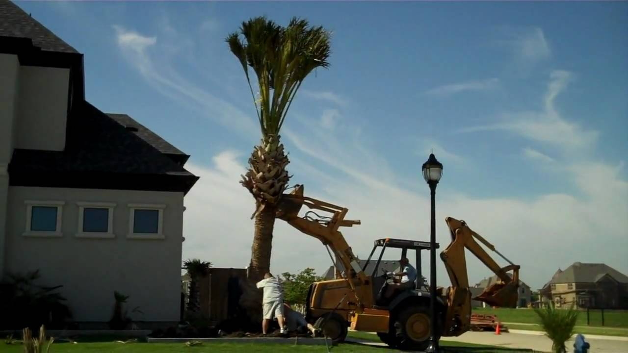 Dallas palm trees 936 524 3889 texas sabal palm tree youtube sciox Choice Image
