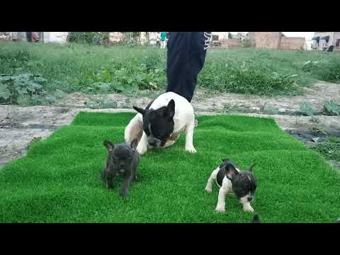 French Bulldog  Available 1 Get 1 Free,{15000}