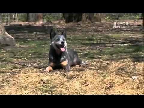 Dogs 101  Australian Cattle Dog