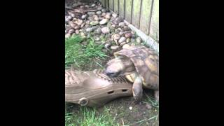 Tortoise and shoe love pt.2