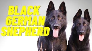Black German Shepherd - Top 10 Facts and Things to Know about the All Black German Shepherd