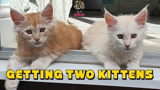 Should I get two kittens at the same time? Why two kittens are better than one