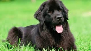 Newfoundland  giant size dog breed