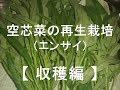 空芯菜の再生栽培 初収穫 の動画、YouTube動画。