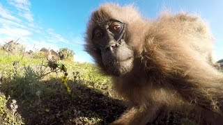 GoPro: Cristian Dimitrius and the Gelada Monkeys