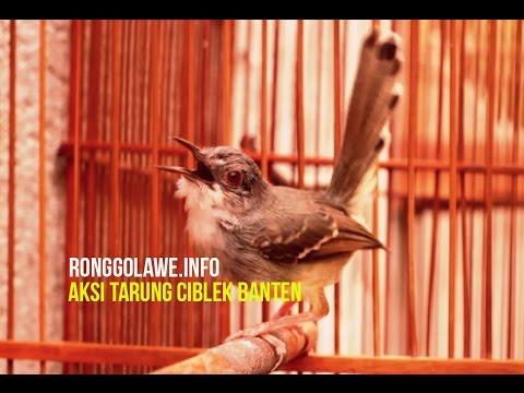 Download Lagu Ciblek Banten Tarung Ngebren Gacor