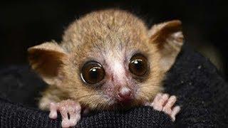 Why Study Mouse Lemurs? thumbnail