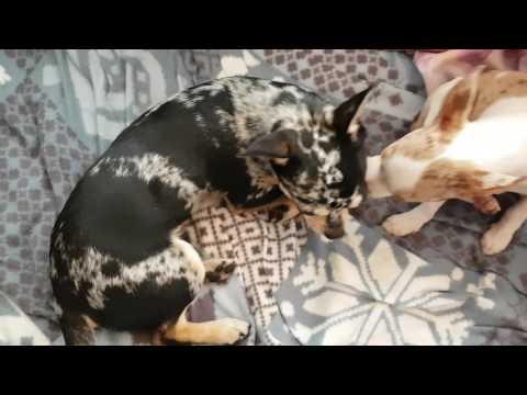 chihuahua-qui-tousse/-solution-trouvée