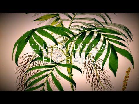 🌴  Chamaedorea elegans   Хамедорея изящная   Условия содержания пальме и её пересадка  