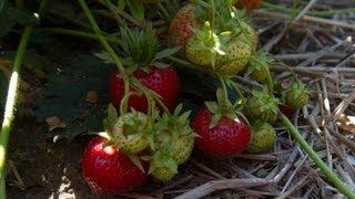 uprawa truskawki deserowj - jakość i smak