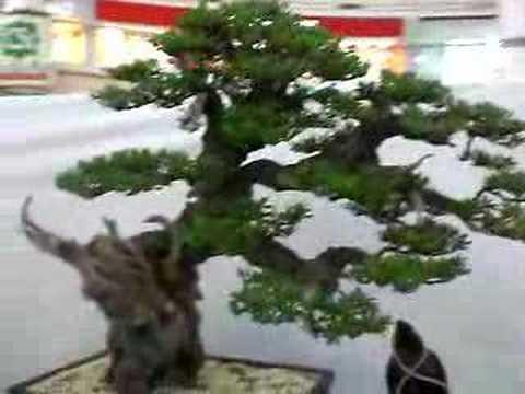 8th PBS Bonsai Show - The Best in Show