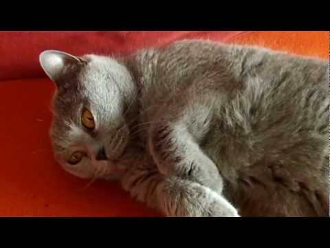 Chartreux cat Rommy - meow