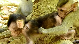OMG! baby Monkey Dakota Try Sucking Baby Quinton, How Funny Baby Is, Very Playful with him