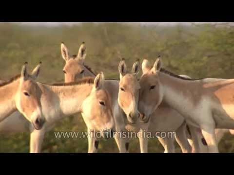Hardy Wild Asses of the Indian Salt desert - the Rann of Kutch