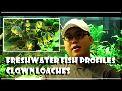 Freshwater Fish Profiles - Clown Loaches
