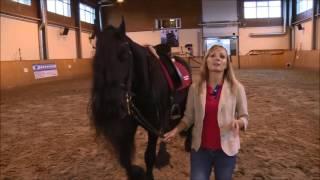 Фризская лошадь.