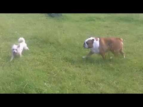 Stan English Bull Dog  & Peppa Bichon Frise.