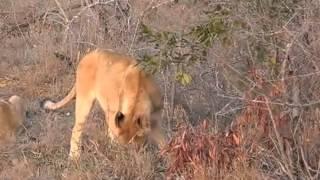 Lwy przed posiłkiem - dziki świat Afryki ,, Safari