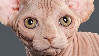 Funny Moments with Cats - Забавное из жизни голых кошек