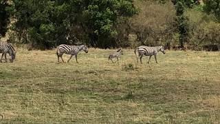 Zebra niemowlaczek - Masai Mara National Reserve - Kenia - Afryka