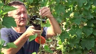 Формирование куста винограда в год прививки с пробуждением глазка, Хисамутдинов АФ