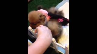 Our Tiny Teacup Pomeranian Puppies Sale
