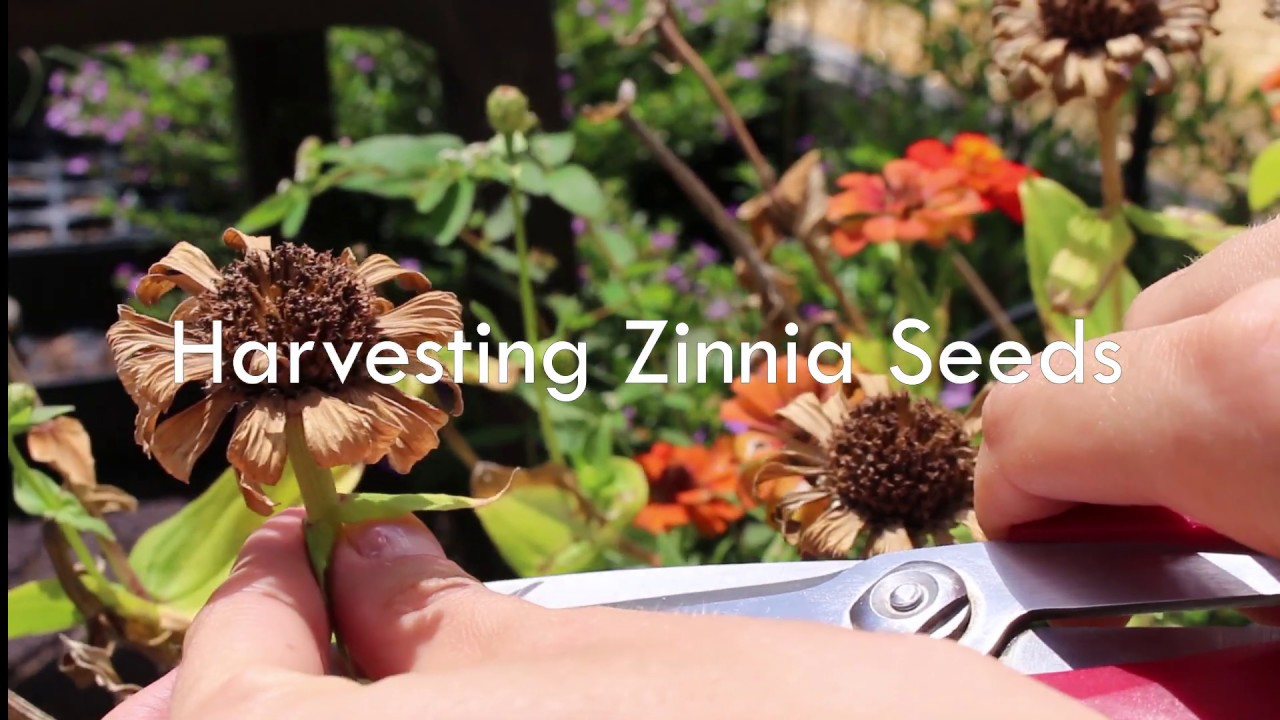 Harvesting Zinnia Seeds Youtube