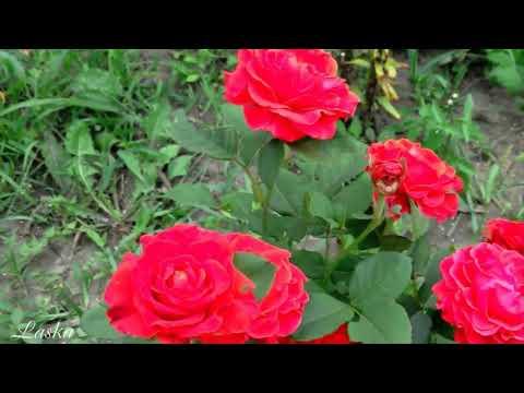 Миллион алых роз -  (арабская версия)