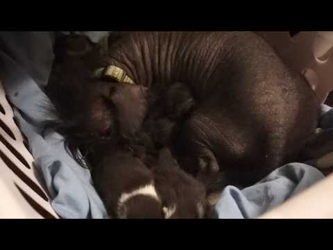 Jack, the Chinese Crested dog adopts kittens!!