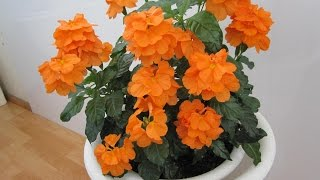 видео Цветы афеландра: уход, фото, размножение, болезни афеландры.