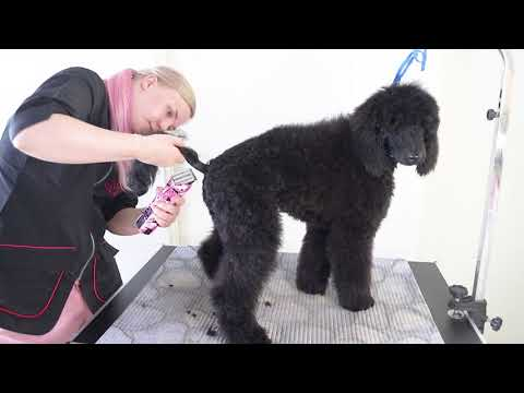 Poodle Puppy Washing and Grooming