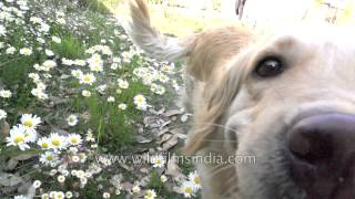 Golden Retriever Among Daisies: Slow Motion Marvel