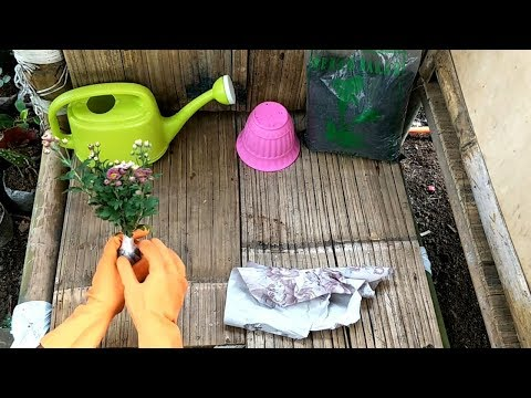 Cara Menanam Dan Merawat Bunga Aster