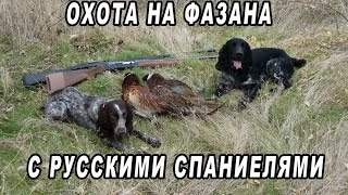 Охота на фазана с русскими спаниелями 2016! Pheasant hunting with Russian Hunting Spaniels!