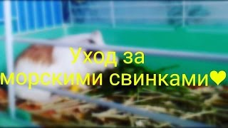 Уход за морскими свинками(, 2016-08-23T09:51:10.000Z)