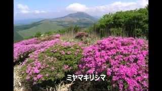 九重(合頭山~猟師山)の花(H26~27年6月上旬:フルーツトマト撮...