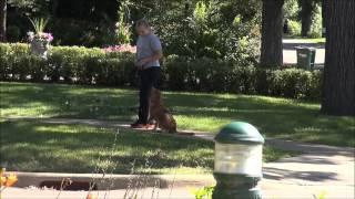 Skye (nova Scotia Duck Tolling Retriever) Trained Dog Video