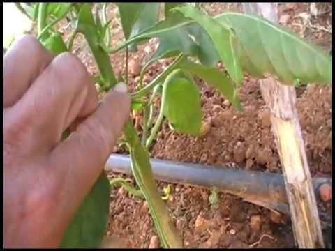 Podar los pimientos y tutorado de pimientos youtube - Poda de hortensias en maceta ...